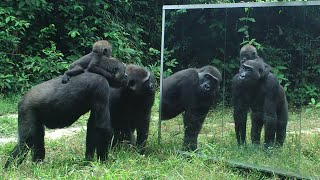 Gabonese Gorilla family all have cool reactions to their mirror reflection except for the silverback