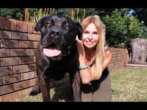 THE BOERBOEL LION DOG MOST POWERFUL MASTIFF IN SOUTH AFRICA