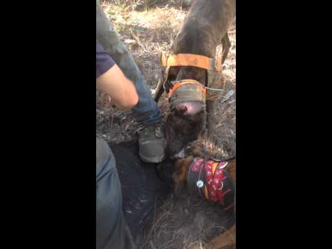 Pig hunting Australia 2014 Dog pulls pig through tree