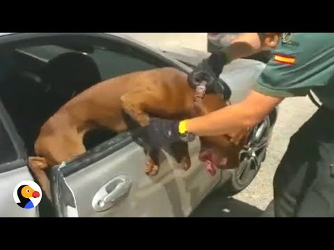 Xxx Mp4 DOG TRAPPED In HOT CAR What You Should Do THE DODO 3gp Sex