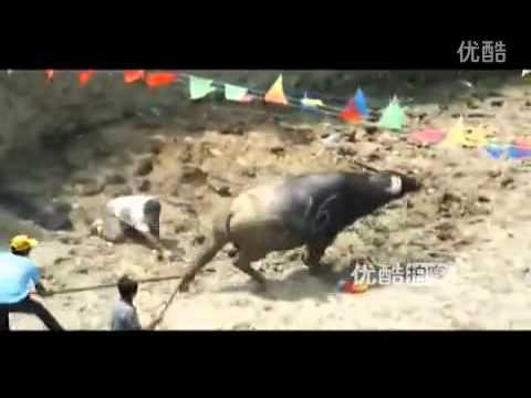 Amusing bullfight in Guizhou province China