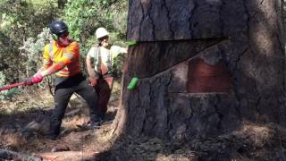 EPIC TREE REMOVAL IN CALIFORNIA 230FT