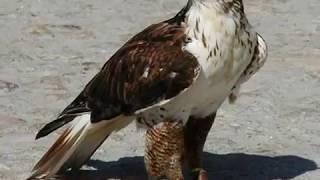 Aves de Rapina [parte 1]...Águias, Gaviões e Falcões!!!
