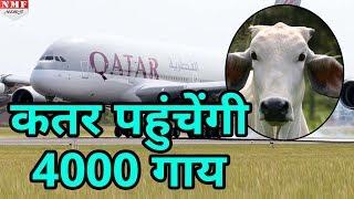 Australia और USA से 60 flights में load होकर Qatar पहुंचेंगी 4000 Cow