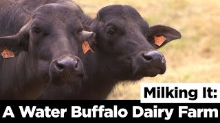 Milking It: A Water Buffalo Dairy Farm