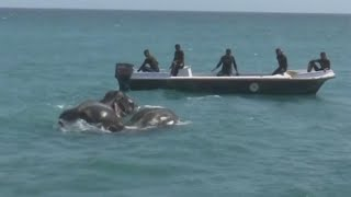 Divers Rescue Jumbo Elephants Washed 10 Miles Out to Sea