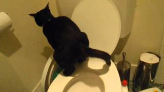 Burmese x Siamese Kitten/Cat does poop in Human Toilet! Flushes it too!