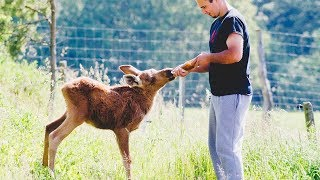 Rescued Moose Does The Most Special Thing For The Man Who Saved Her Life