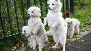 🐾 Funny Dogs Walking  On Two Legs [Funny Pets]