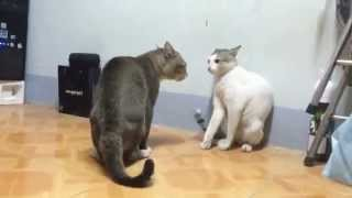 Non-stop fighting cats ★ funniest video★ newest video ★