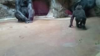 Baby Gus at Ft Worth Zoo