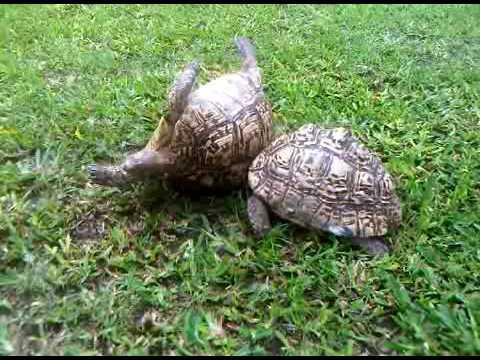 Xxx Mp4 Upside Down Tortoise A 3GP 3gp Sex