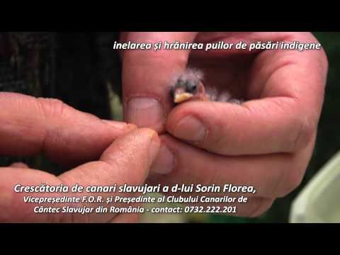 Inelarea si hranirea puilor de pasari indigene