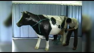 Applying ropes for casting a cow: Rueff's method using a model cow