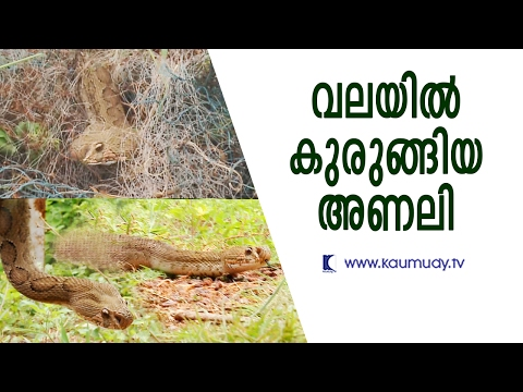 Violent Viper caught in a tangle, rescued by Vava Suresh | Snake Master | Kaumudy TV