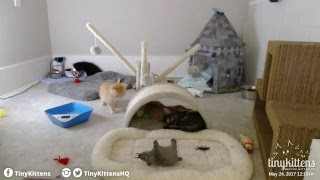 Corsica and her rescue kittens - TinyKittens.com