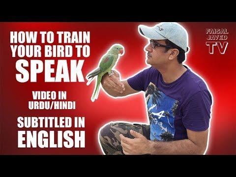 Xxx Mp4 Parrot Ko Bolna Sekhana HOW TO TRAIN YOUR BIRD TO SPEAK Video In URDU Hindi Subtitled In English 3gp Sex