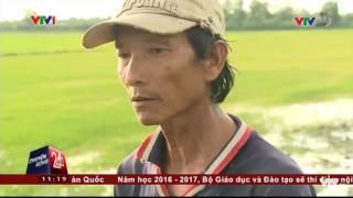KHI CON TÔM GIẾT CHẾT CÂY LÚA | VTV24