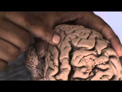 Xxx Mp4 Gyri N Sulci Of Cerebrum 3gp Sex