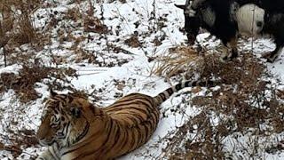 Safari Park / Russia Timur Goat Loves Amur Tiger