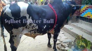 Sylhet bull Fight salutikor (banglar raja sitra ) Angarjur gram 2015