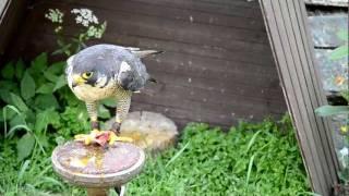 Peregrine falcon (Sokol sťahovavý)