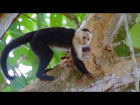 Xxx Mp4 Capuchin Monkeys Wild Caribbean BBC Earth 3gp Sex