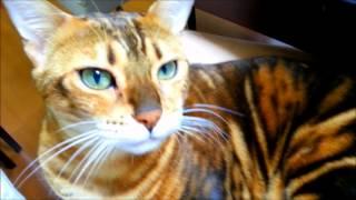 抱っこをねだるベンガル猫マオちゃんと私の会話