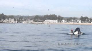 Paddle boarder almost gets swallowed by a humpback whale, Santa Cruz CA