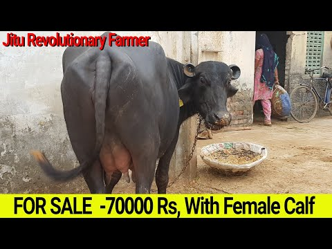 👍FOR SALE: First Timer MURRAH -70,000 Rs👍with FEMALE CALF @Hisar Farm.👍