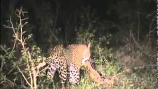 MalaMala - Leopard kill - Part 1