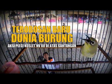 BRANDY WATCH : Pertama Kali Di Dunia Burung Pleci Koslet NV88 Gacor Dalam Sangkar
