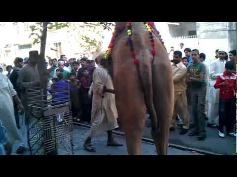 Hassaan Ammar And Subhan Camel Qurbani At Sadar Lahore Cantt On 7 Nov 2011 Camel No 1