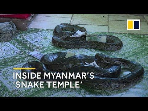 Xxx Mp4 Inside Myanmar S Snake Temple A Nirvana For Large Pythons 3gp Sex