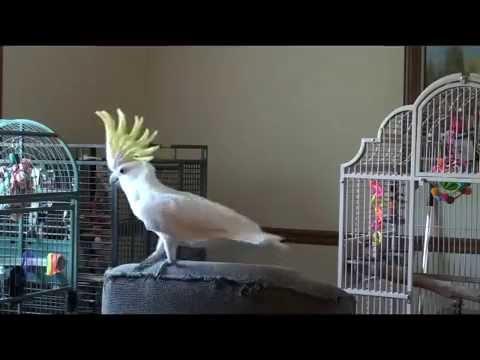 Tributo Michael Jackson fatto da un pappagallo