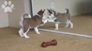 Siberian Husky puppies VS mirror