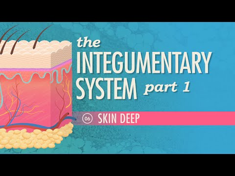 The Integumentary System, Part 1 - Skin Deep: Crash Course A&P #6