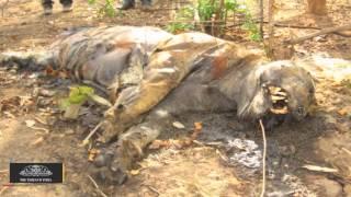 Speeding Vehicle Runs Over 15-month-old Tiger in Maharashtra