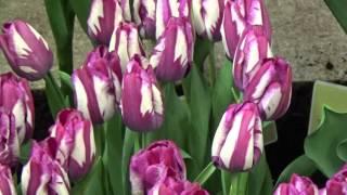 Tulip Bulbs from DutchGrown - Bulk Tulip Flower Bulbs