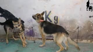 هجمات تقدمها مجموعه كلاب بمركز تدريب كلاب الامن والحراسه بدمنهور HOME dogs