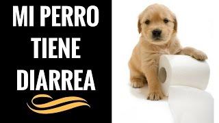 Mi perro tiene Diarrea - Que Hacer si mi Perro tiene Diarrea