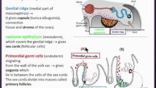 Urogenital System  14  Development of the Ovary