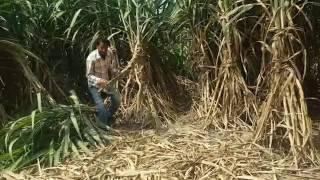 Sugar cane field Punjab /Haryana