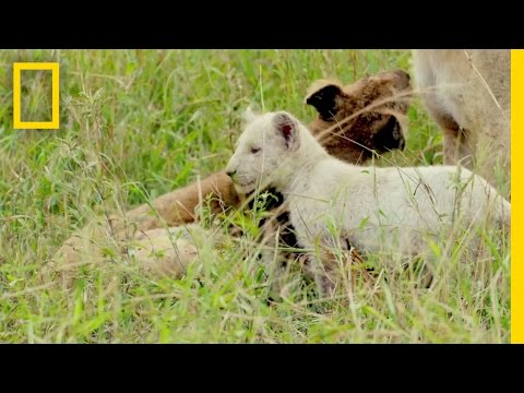 Extremely Rare White Lions Caught on Camera Short Film Showcase