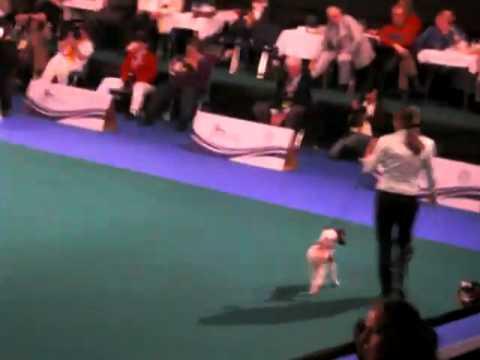 Xxx Mp4 JBOB Euro Dog Show Celje 2010 Fox Terrier Smooth 3gp Sex