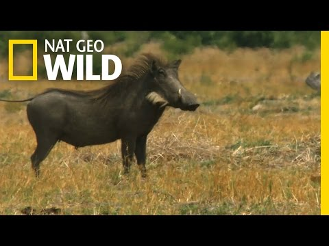 One Tough Warthog Deadly Instincts