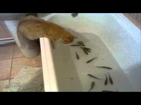 видео как кот ловит рыбу в ванной