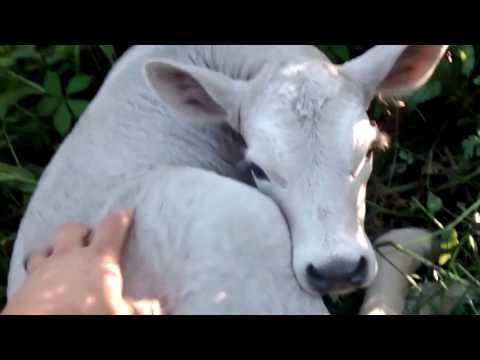 Momma Cow Hides newborn