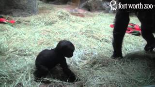 And the name of Fort Worth Zoo's baby gorilla is ... Gus!