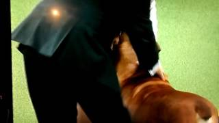 Boerboel.    Bullmastiff.  Cane Corso ..Westminster dog Show